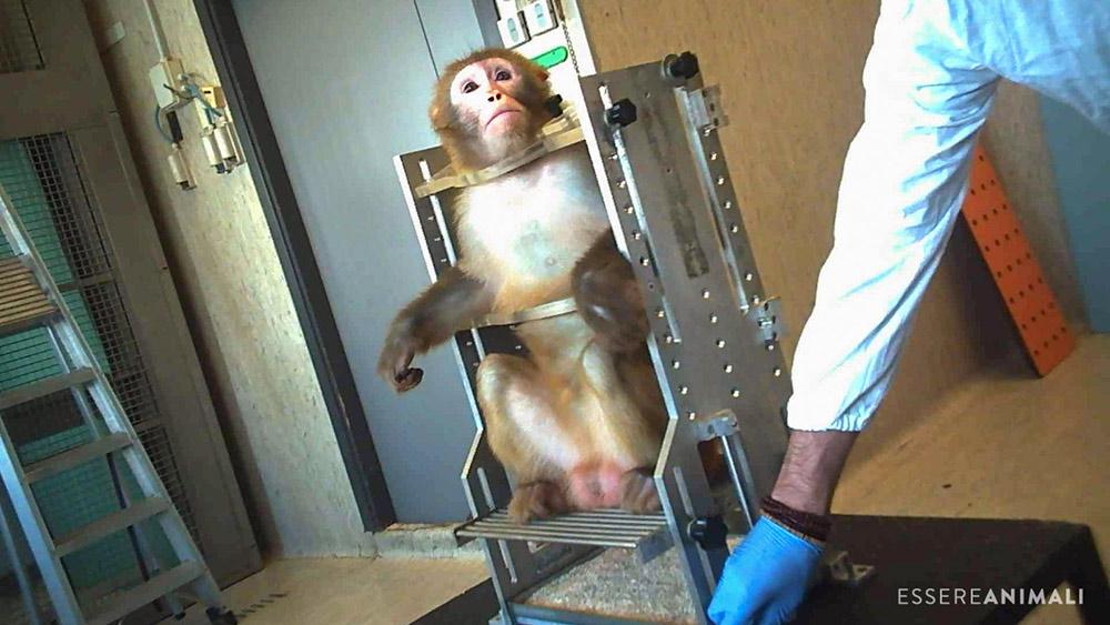 macaco in sperimentazione animale in università italiana